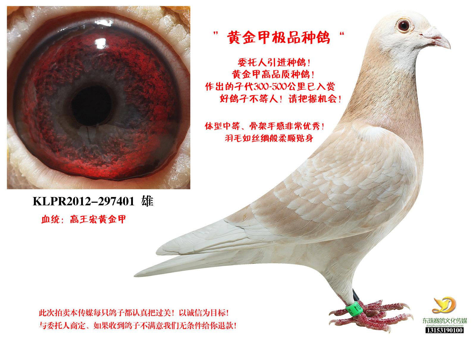 台湾著名鸽系金甲超级种鸽!保证金级拍卖