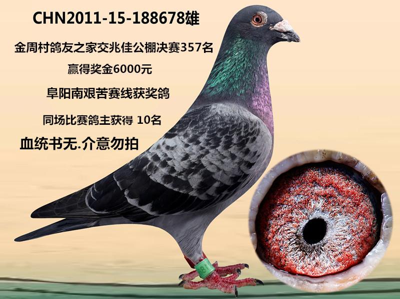 蚂蚁鸽动物鸽子下载鸟鸟类800_599教学电影下载迅雷图示图片