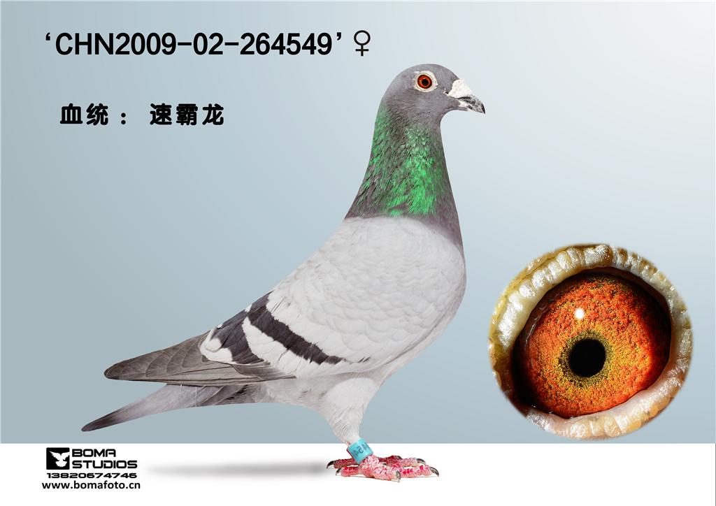 斯塔夫万瑞特信鸽图片