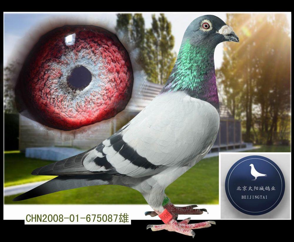 本鸽业500多羽优质种鸽分享全国鸽友 父:詹森小火箭近亲直系 母:盖比