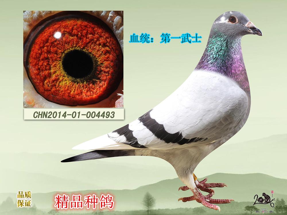 体型完美肌肉富有弹性快速破风条眼睛油性特好是一羽做种极佳种鸽
