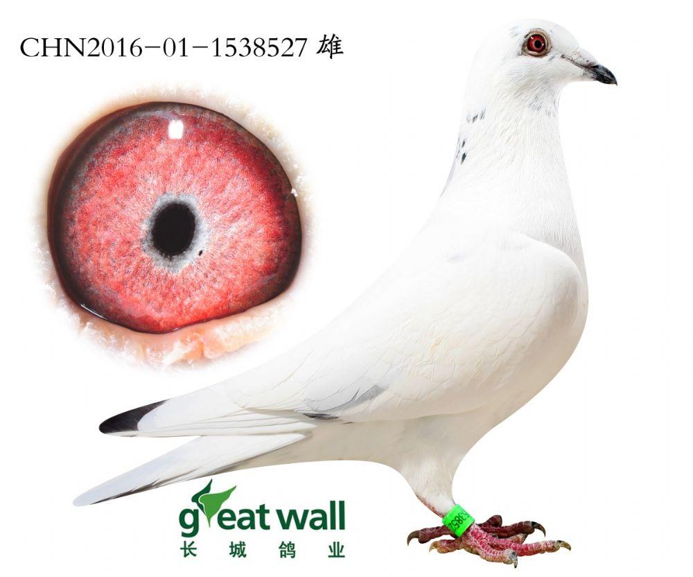 秦皇岛长城信鸽