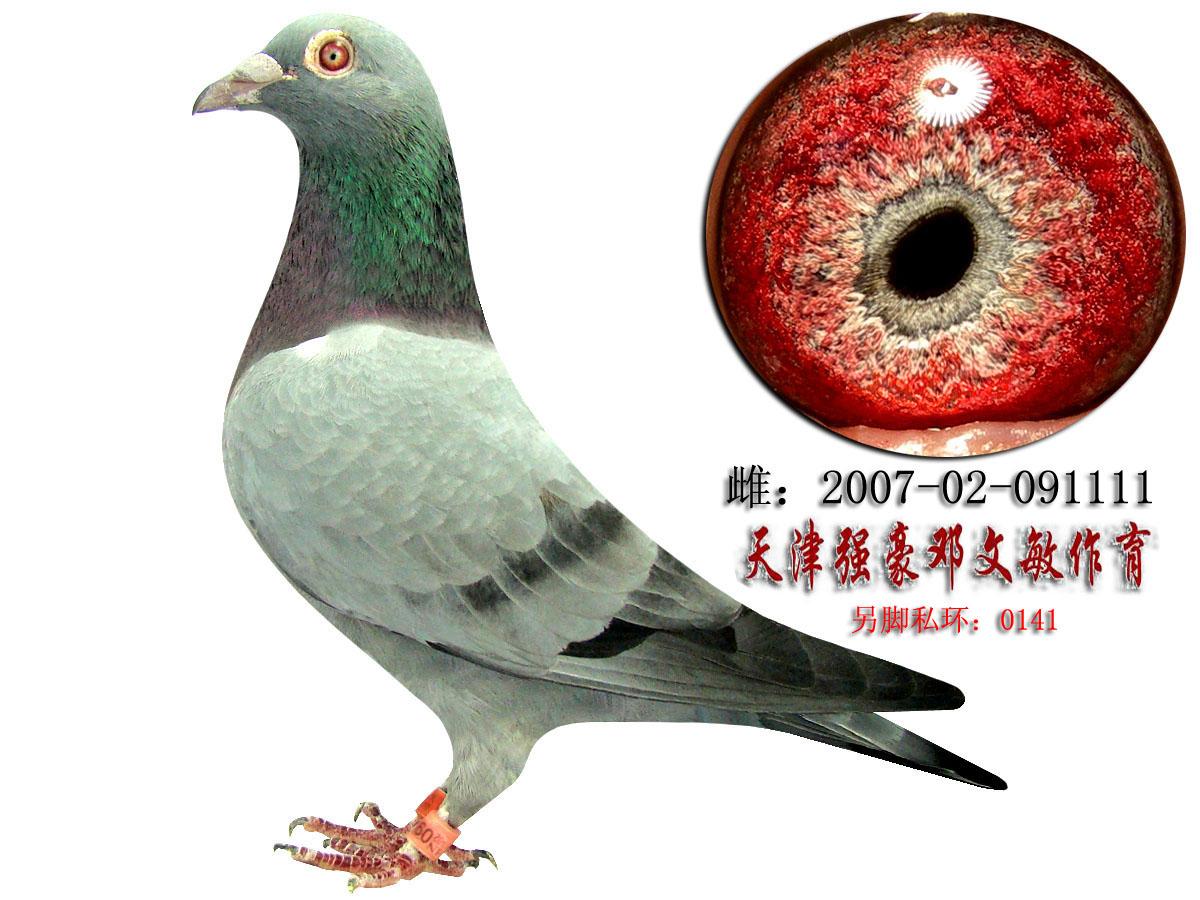 雌  羽色: 石板  眼沙: 砂眼      详细介绍: 天津鉴鸽大师邓文敏的