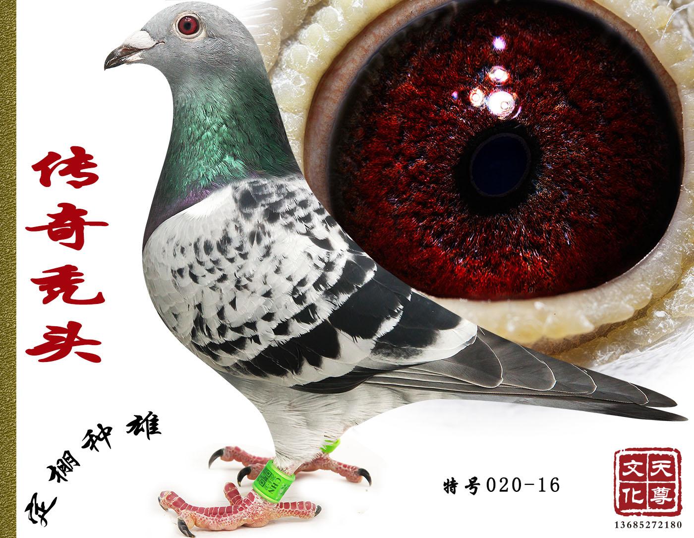 该鸽的眼睛结构非常高级,一旦拥有100%会有好成绩………………给有缘