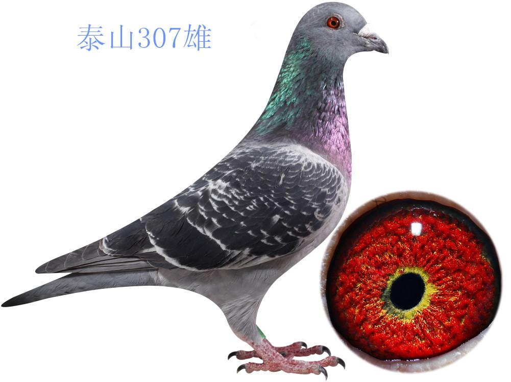 动物 鸽 鸽子 教学图示 鸟 鸟类 1001_750