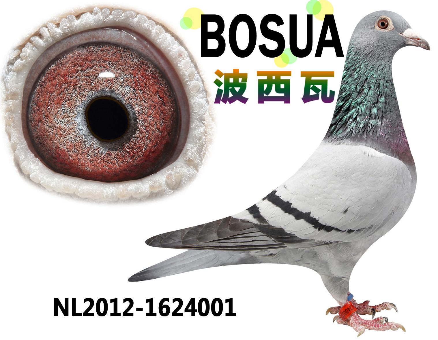 比利时信鸽拍卖网