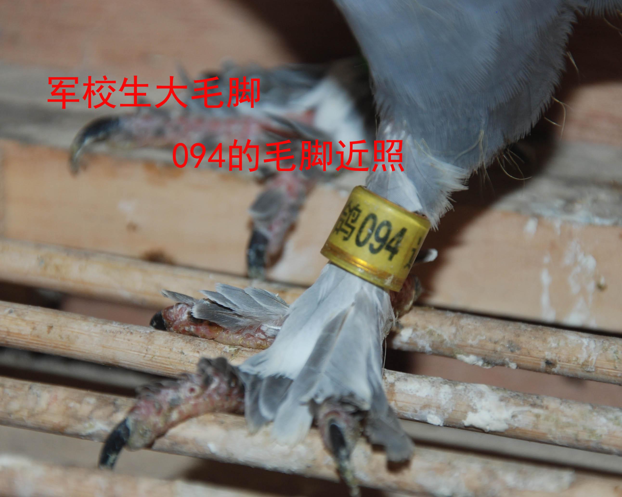 鸽子布窝垫制作图解
