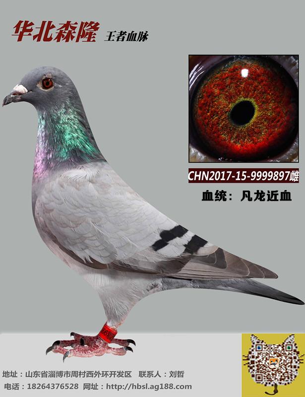 鸽友引进种鸽希望你们擦亮眼睛.赛级不是造出来的!