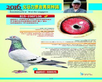 4号拍卖鸽