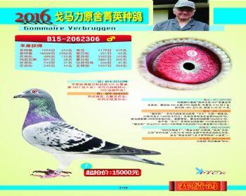 7号拍卖鸽
