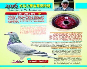 8号拍卖鸽