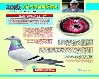 10号拍卖鸽