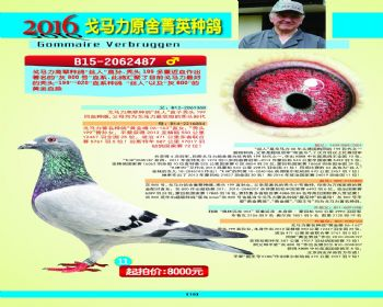 11号拍卖鸽