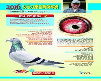 13号拍卖鸽