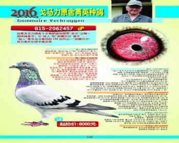 18号拍卖鸽