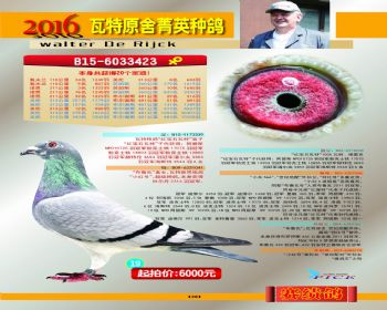 19号拍卖鸽