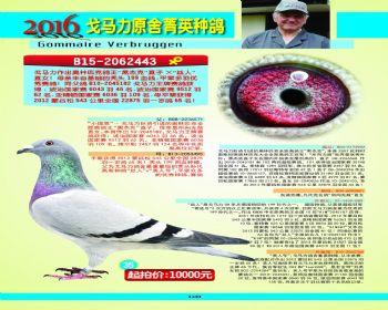 35号拍卖鸽