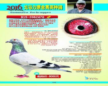 36号拍卖鸽