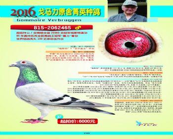 37号拍卖鸽