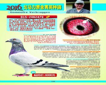 40号拍卖鸽