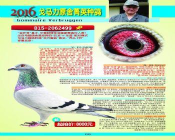 48号拍卖鸽
