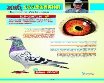 49号拍卖鸽