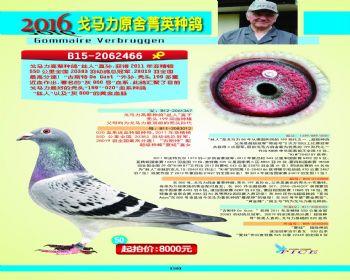 50号拍卖鸽