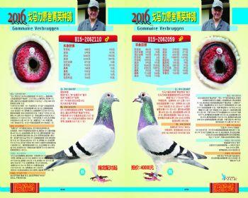 6566号拍卖鸽