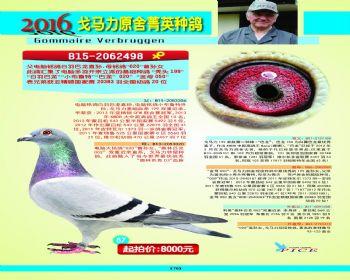 67号拍卖鸽