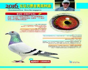 70号拍卖鸽