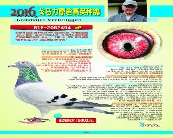 71号拍卖鸽