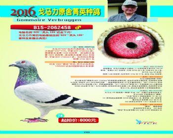 74号拍卖鸽