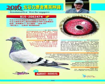 75号拍卖鸽