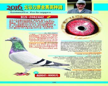 77号拍卖鸽