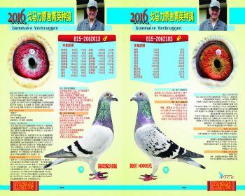 7980号拍卖鸽