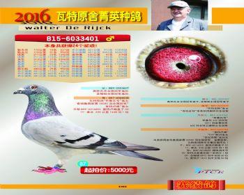 87号拍卖鸽