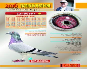 91号拍卖鸽