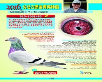 95号拍卖鸽