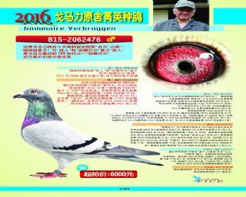 96号拍卖鸽