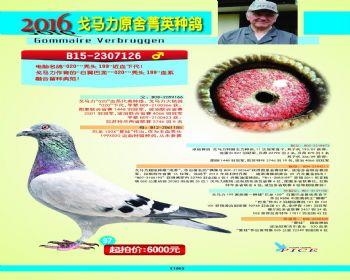97号拍卖鸽