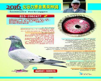 98号拍卖鸽