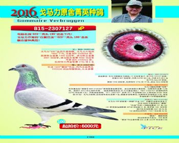 100号拍卖鸽