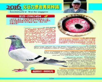 101号拍卖鸽