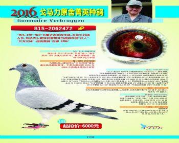 103号拍卖鸽