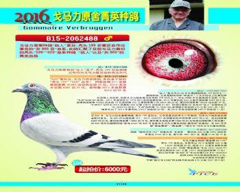 104号拍卖鸽