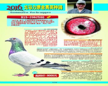 105号拍卖鸽