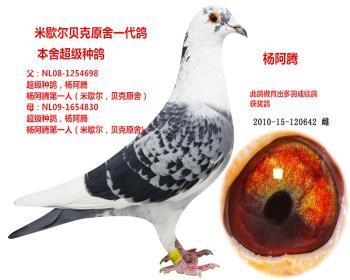 杨阿腾血系