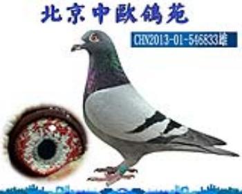 【詹森老白眼】鸽王父亲