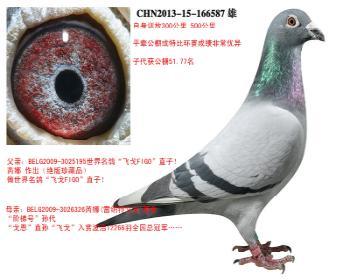 """世界名鸽""""飞戈FIGO""""直子X""""阶梯号""""孙代"""