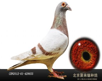 【原环子代】詹森红狐狸731种雄655